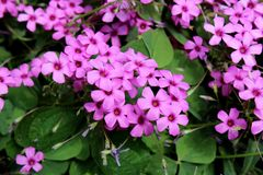Bunch of Clover or Trefoil fully open blooming pink flowers surrounded with dark green leaves in local garden. On warm sunny day stock images