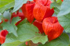 Bunch cluster group of Chinese Lantern flower plants with close up macro distance Royalty Free Stock Image