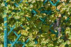 Bunch of grapes in garden Royalty Free Stock Photos