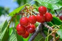 Bunch cluster of ripe red cherries and green leaves on cherry tr royalty free stock image
