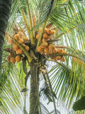 BUNCH OF COCONUT  FRUITS GROWING ON THE TREE. Royalty Free Stock Images