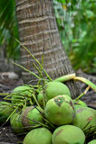 Bunch of coconut in the garden Royalty Free Stock Photography