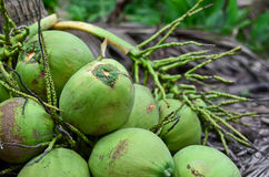 Bunch of coconut in the garden Royalty Free Stock Photos