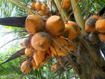 Bunch of coconut king red fuits Royalty Free Stock Photography