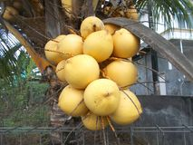 Bunch of coconut king yellow fuits Stock Images