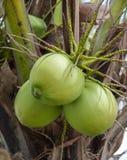 Bunch coconut Stock Photos