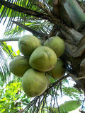 Bunch of coconut at the tree Stock Image