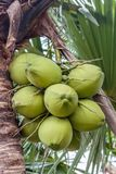 Bunch of coconuts Stock Images