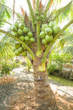 Bunch of Coconuts on Coconut Tree Stock Image
