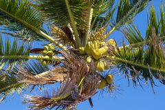 Bunch of coconuts growing on a palm tree. Against blue sky Royalty Free Stock Images