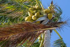 Bunch of coconuts growing on a palm tree. Against blue sky Royalty Free Stock Image