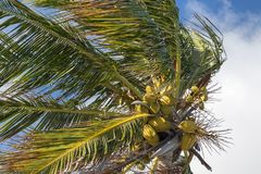 Bunch of coconuts growing on a palm tree. Against blue sky Stock Photos