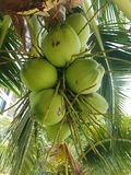 Bunch of coconuts. On palm in Malaysia, Borneo Royalty Free Stock Photos