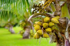 A bunch of coconuts ripening on a dwarf coconut tree on the Big Island of Hawaii. USA Royalty Free Stock Photos