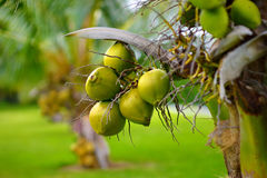 A bunch of coconuts ripening on a dwarf coconut tree on the Big Island of Hawaii Stock Image