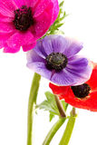 Bunch of colorful anemone flowers Royalty Free Stock Photo