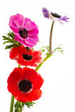 Bunch of colorful anemone flowers Royalty Free Stock Photos