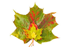 Bunch of colorful autumn leaves. Bunch of colorful autumn maple leaves isolated on white background Royalty Free Stock Images