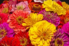 Bunch of colorful flowers of zinnia - close up Stock Photography