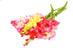 Bunch of colorful gladioluses Royalty Free Stock Images