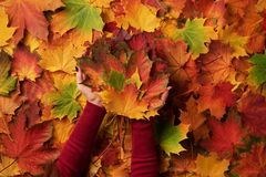 Bunch of colorful maple leaves in female hands with red nails design. Bright autumn background. Sunny day, warm weather. Top view. Banner stock photos