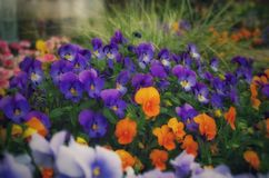 Bunch of colorful pansies. Flowers violett green floral springtime Royalty Free Stock Photo