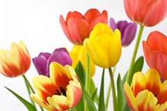 Bunch of colorful tulips. Colorful tulips on white background Stock Photography