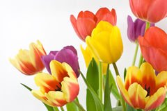 Bunch of colorful tulips. Colorful tulips on white background Royalty Free Stock Photography