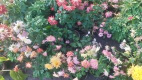 Bunch of colourful dahlia  flower  view