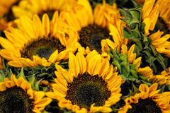Bunch of colourful yellow sunflowers Stock Photo