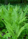 Bunch of Common Lady Fern Stock Images
