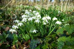 Bunch of common snowdrops. Galanthus nivalis, growing wild in woods stock photos