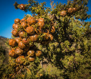 Bunch of cones on a branch of cypress Royalty Free Stock Photography
