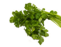 Bunch of coriander Royalty Free Stock Photography
