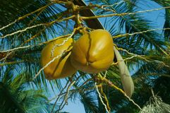 A couple of coconuts in a palm. A bunch, a couple of ripe coconuts hanging from the coconut palm sunlit in warm sunshine Royalty Free Stock Photo