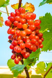 Bunch of Crimson Seedless Grapes Stock Images