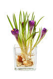 Bunch of crocuses in transparent vase  Royalty Free Stock Photos