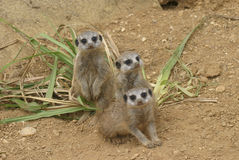 bunch of curious meerkat Stock Photography