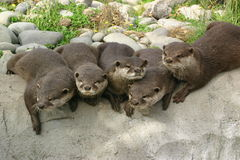 A Bunch Of Curious Otters. A group of otters watching curiously Royalty Free Stock Photo
