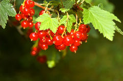 Bunch of currant. In my garden Royalty Free Stock Image