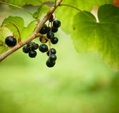 Bunch of currants with a garden bugs in Focus. Stock Photos