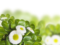 Bunch of cute daisies, isolated on white. Daisies with green leaves isolated,border,frame Royalty Free Stock Photography