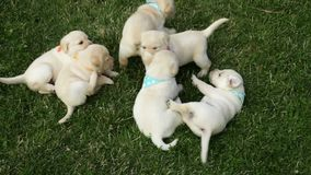 Bunch of cute labrador puppy dog play in the grass stock video footage