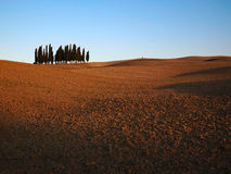 Bunch of cypresses in a Tuscany landscape Royalty Free Stock Images