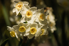 Bunch of daffodil flowers Royalty Free Stock Images