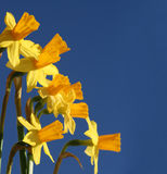 Bunch of Daffodils against blue sky Stock Images