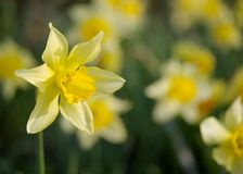 Bunch of daffodils Royalty Free Stock Photography