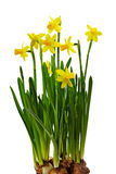 Bunch of daffodils with bulbs isolated on w Stock Photos