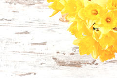 Bunch of daffodils Royalty Free Stock Images