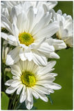 Bunch of Daisies Stock Images